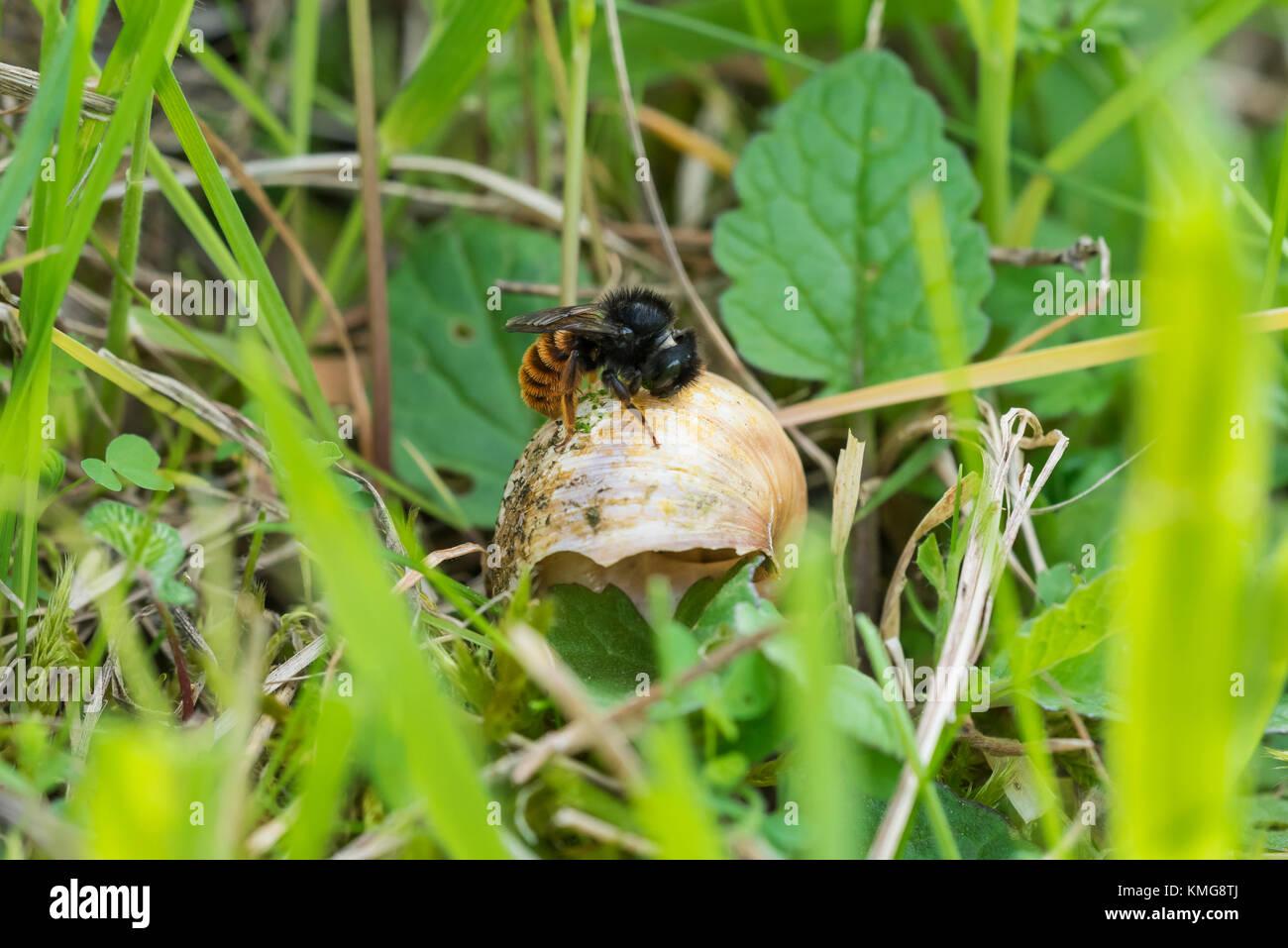 Zweifarbige Schneckenhaus Mauerbiene, Osmia bicolor, red-tailed mason bee - Stock Image