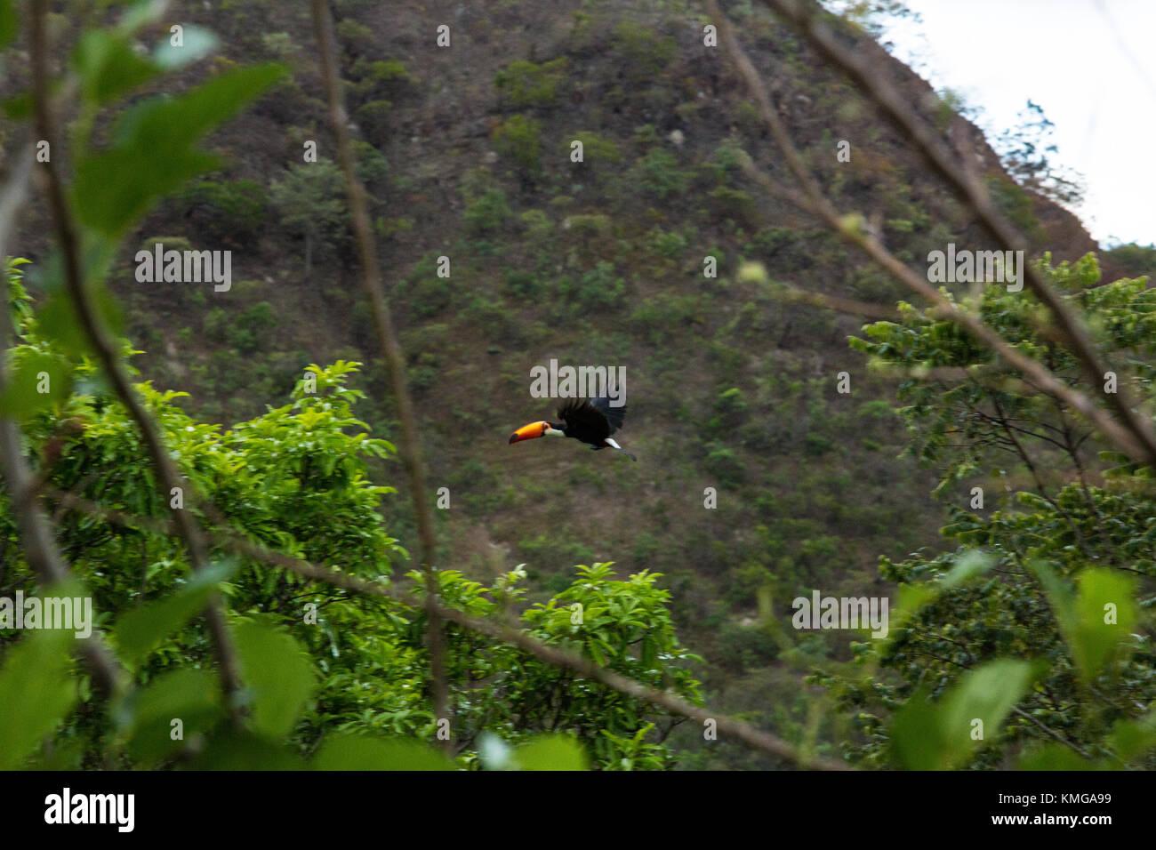 Tucano - Stock Image