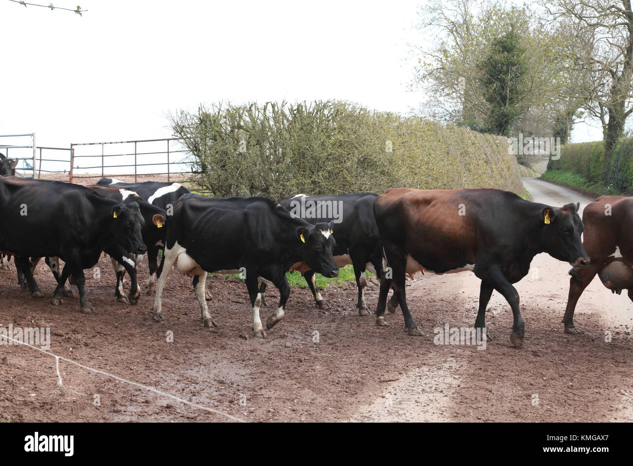 A dairy cow in a herd of cows crossing a country lane in order to be milked - Stock Image