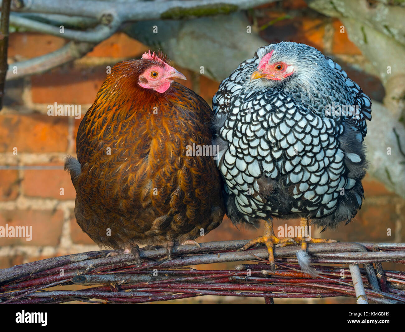 Silver-laced Wyandotte free range in garden with hybrid brown hens - Stock Image