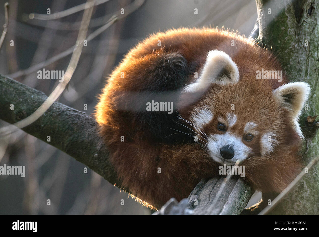 Berlin, Germany. 7th Dec, 2017. A red panda reclines on a tree branch within its cage at the zoo in Berlin, Germany, - Stock Image