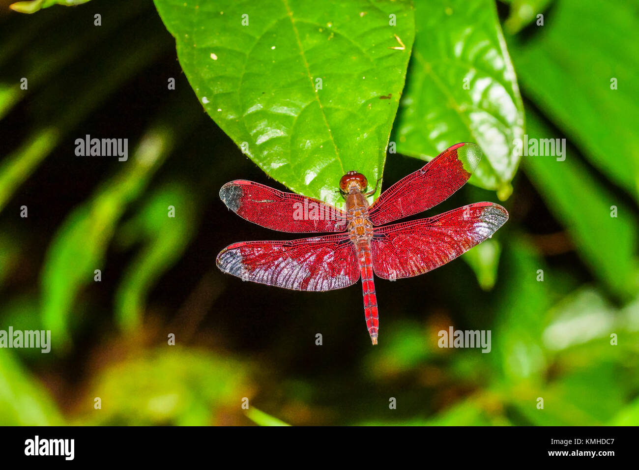 Red dragonfly holding on green leaf. - Stock Image