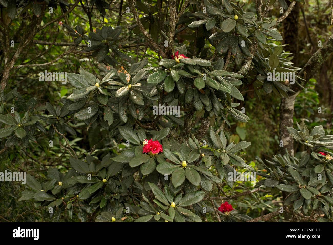 Rhododendron species (Rhododendron arboreum zeylanicum) - Stock Image