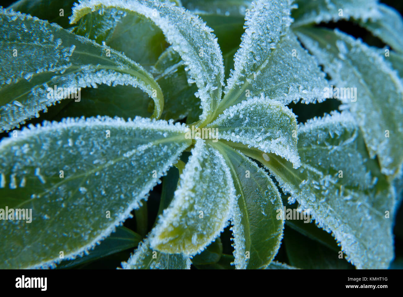 Frost on Leaves of a Plant - Stock Image