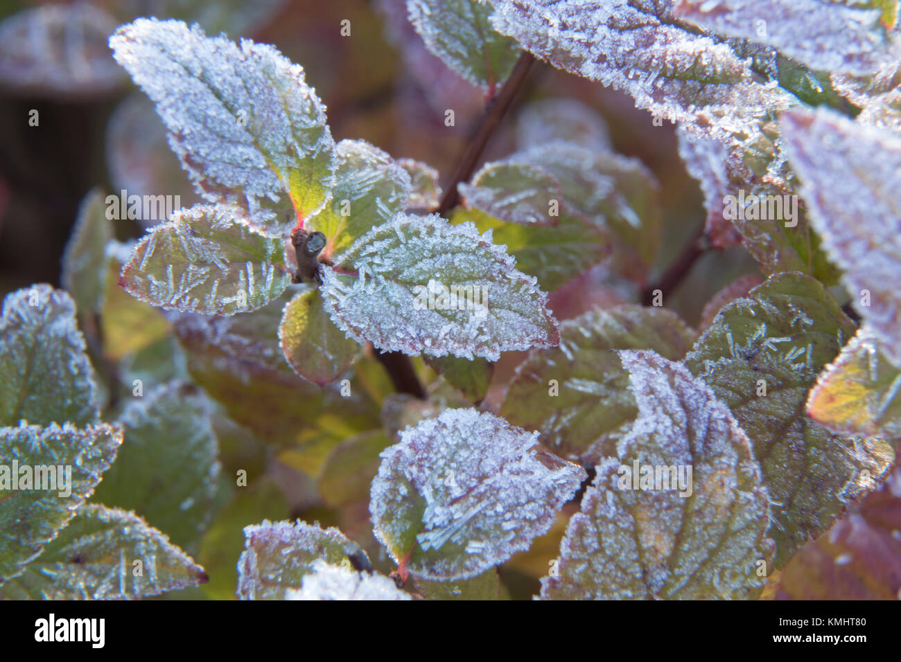 Frost on Leave of a Plant Stock Photo