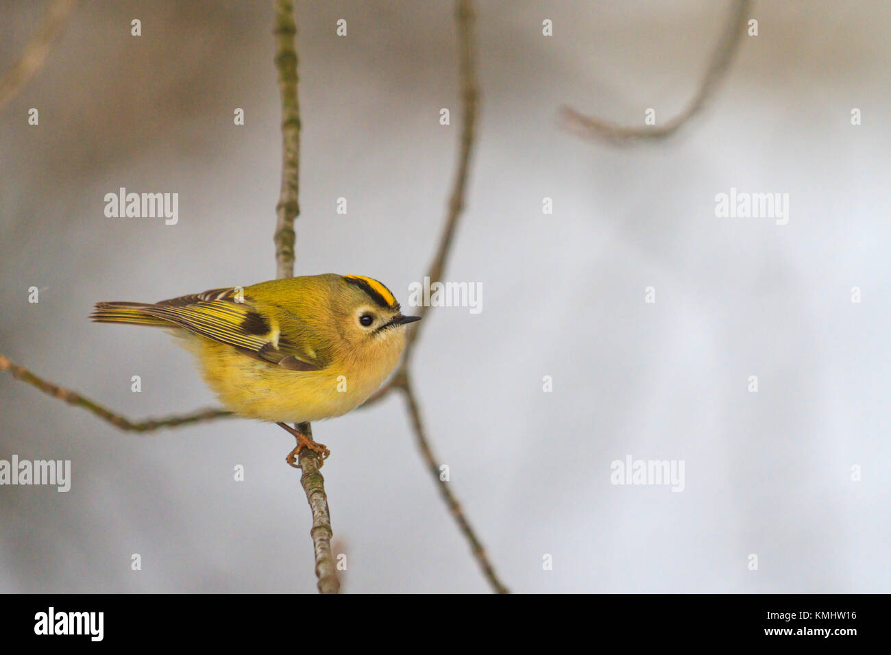 colored forest bird on a black and white winter landscape, wildlife, birds - Stock Image
