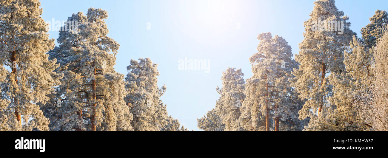 panoramas in the winter forest of pine trees are covered with frost , winter period - Stock Image