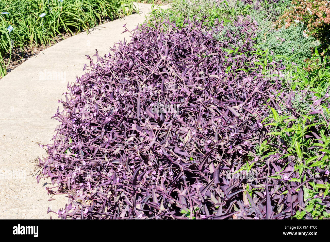 A path through Will Rogers botanical garden showing a bed of Purple Heart flowers, Wandering Jew. Oklahoma City, - Stock Image