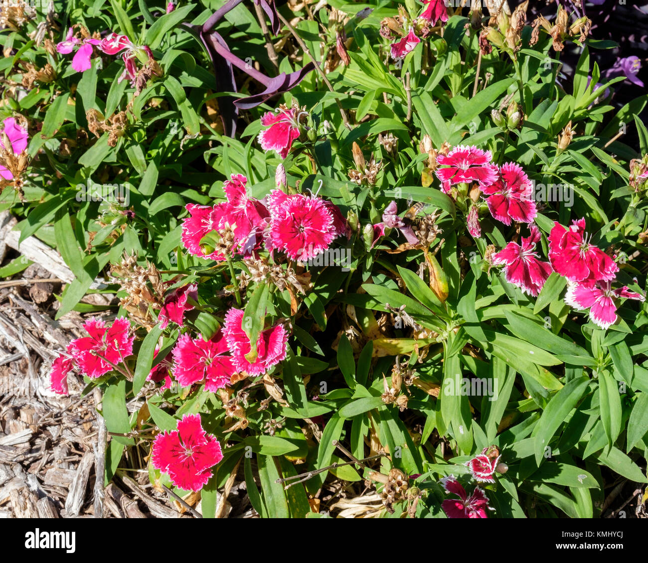 Red Dianthus chinensis in a flower bed. Oklahoma City, Oklahoma, USA. - Stock Image