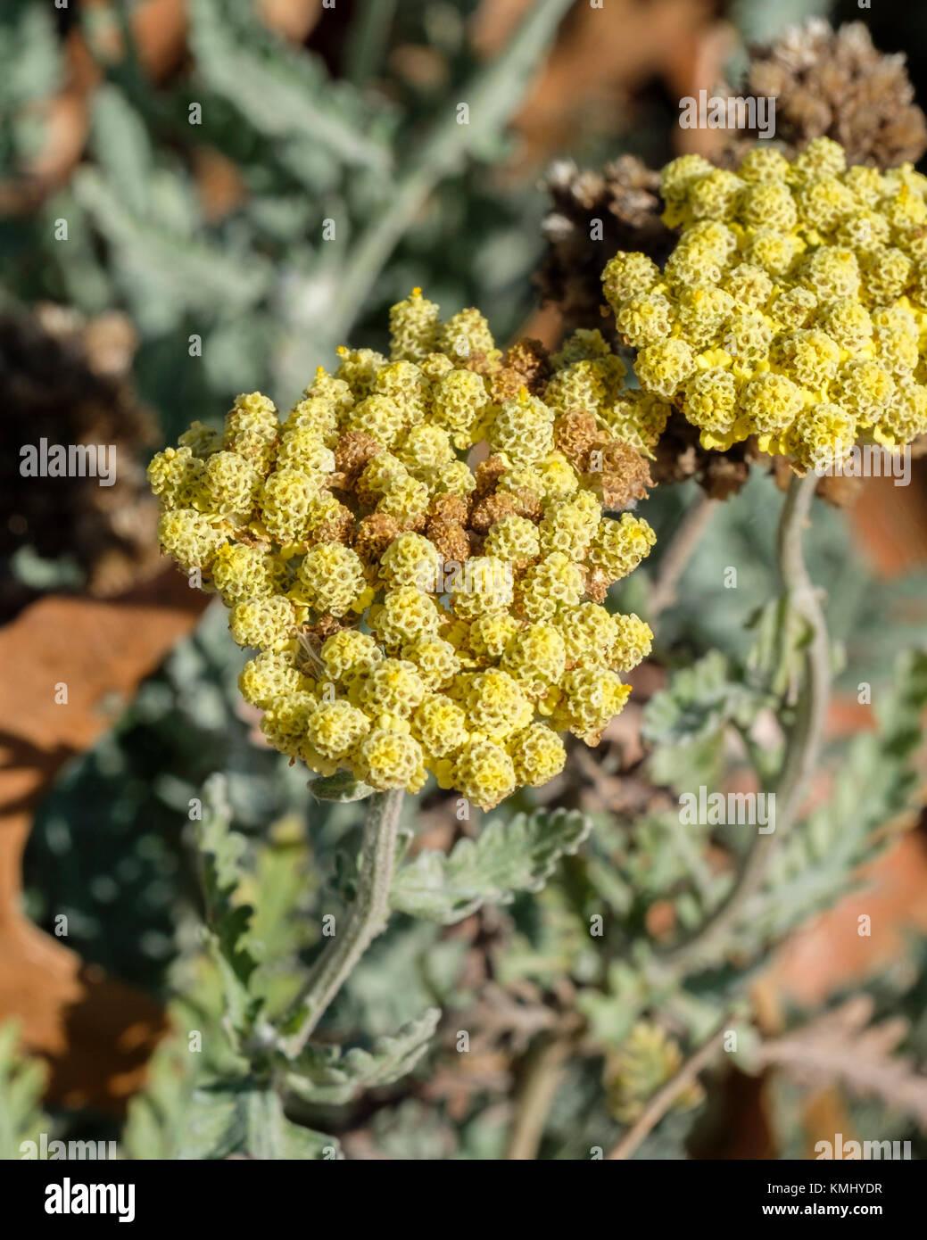 Sweet Yarrow, Achillea filipendulina, fernleaf yarrow,  Asteraceae. Oklahoma City, Oklahoma, USA. - Stock Image