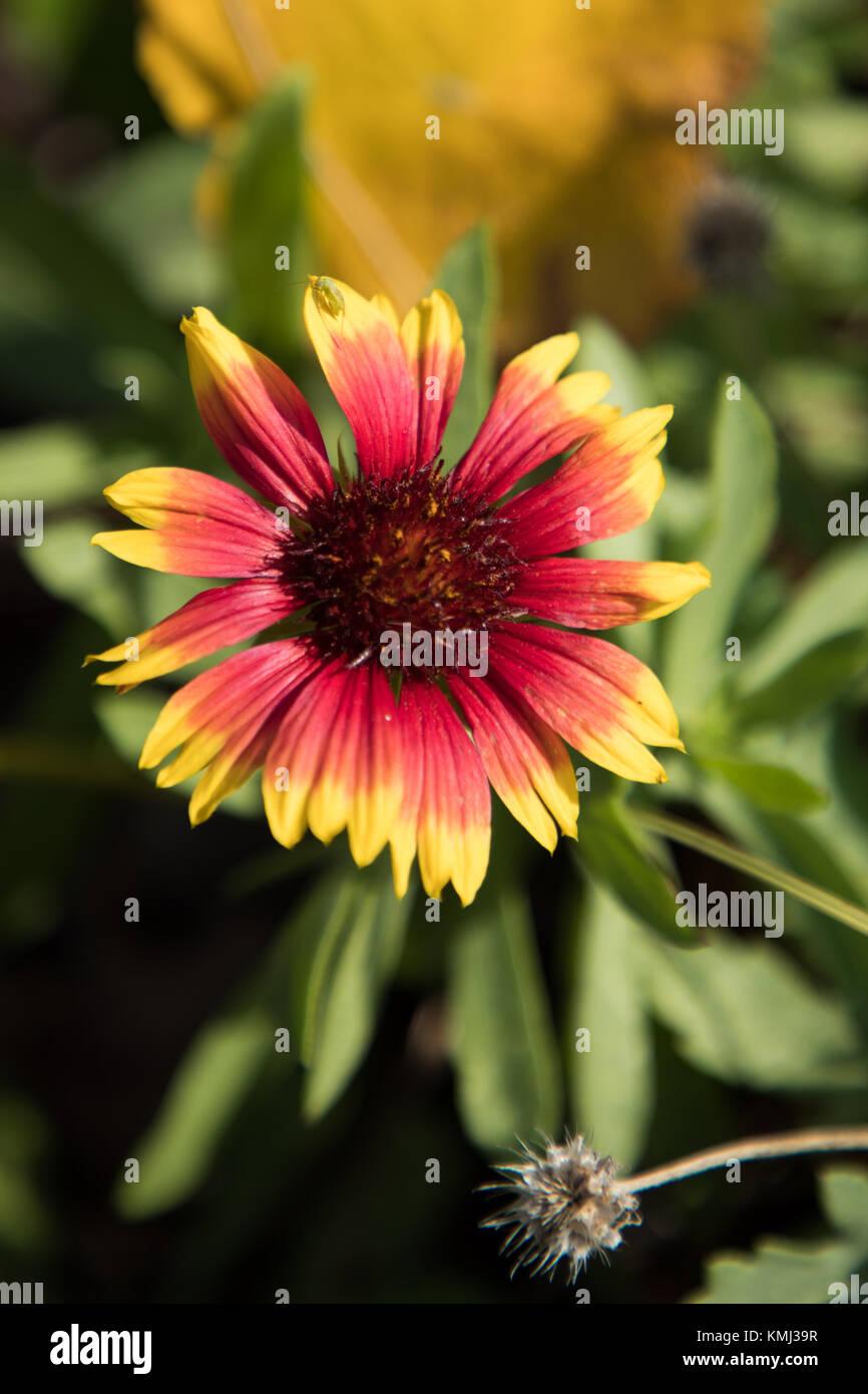 Gaillardia, native wildflower at Myrtle Beach State Park Stock Photo