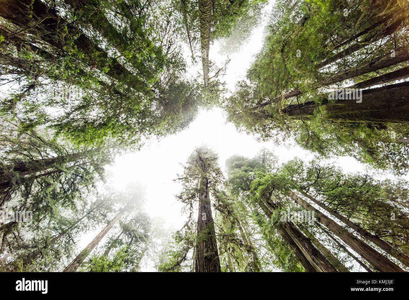 Giant Redwood trees in Prairie Creek Redwoods State Park, California - Stock Image