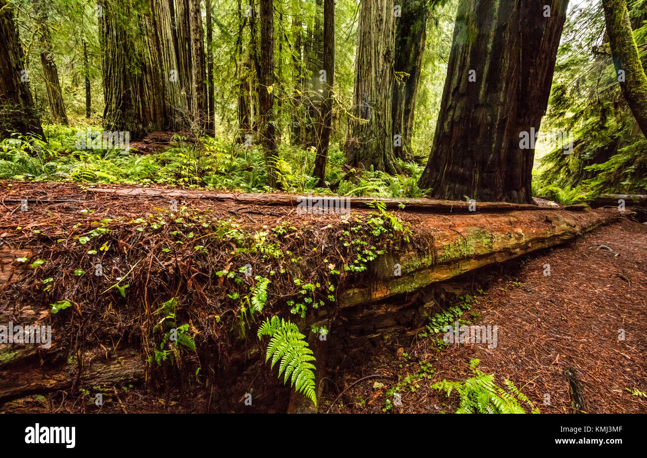 A fallen redwood tree in Prairie Creek Redwoods State Park, California - Stock Image