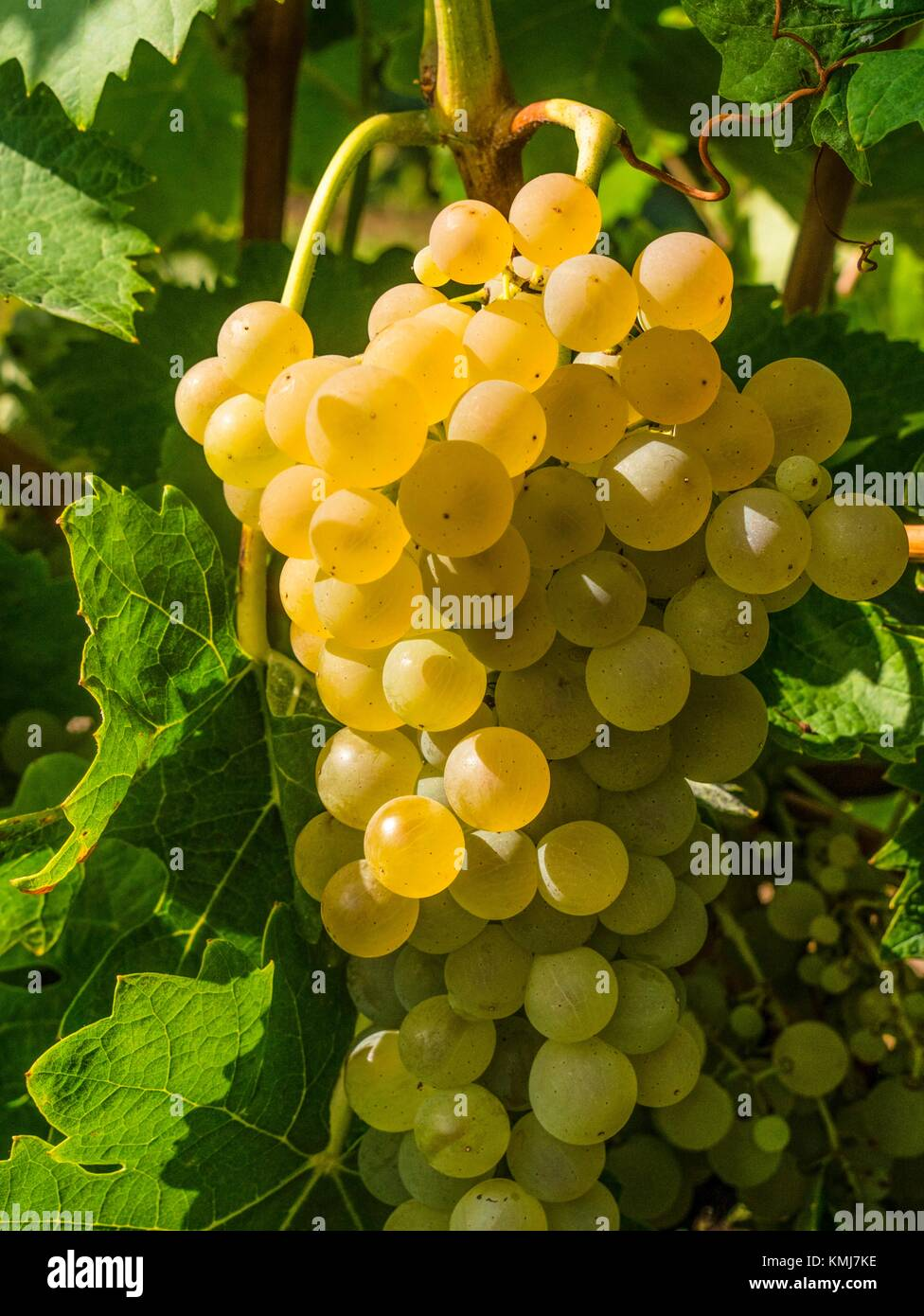 France, Midi Pyrénnées, Gers. ''Uniblanc'' wine grappe to make wines from Gascony or Armagnac. - Stock Image