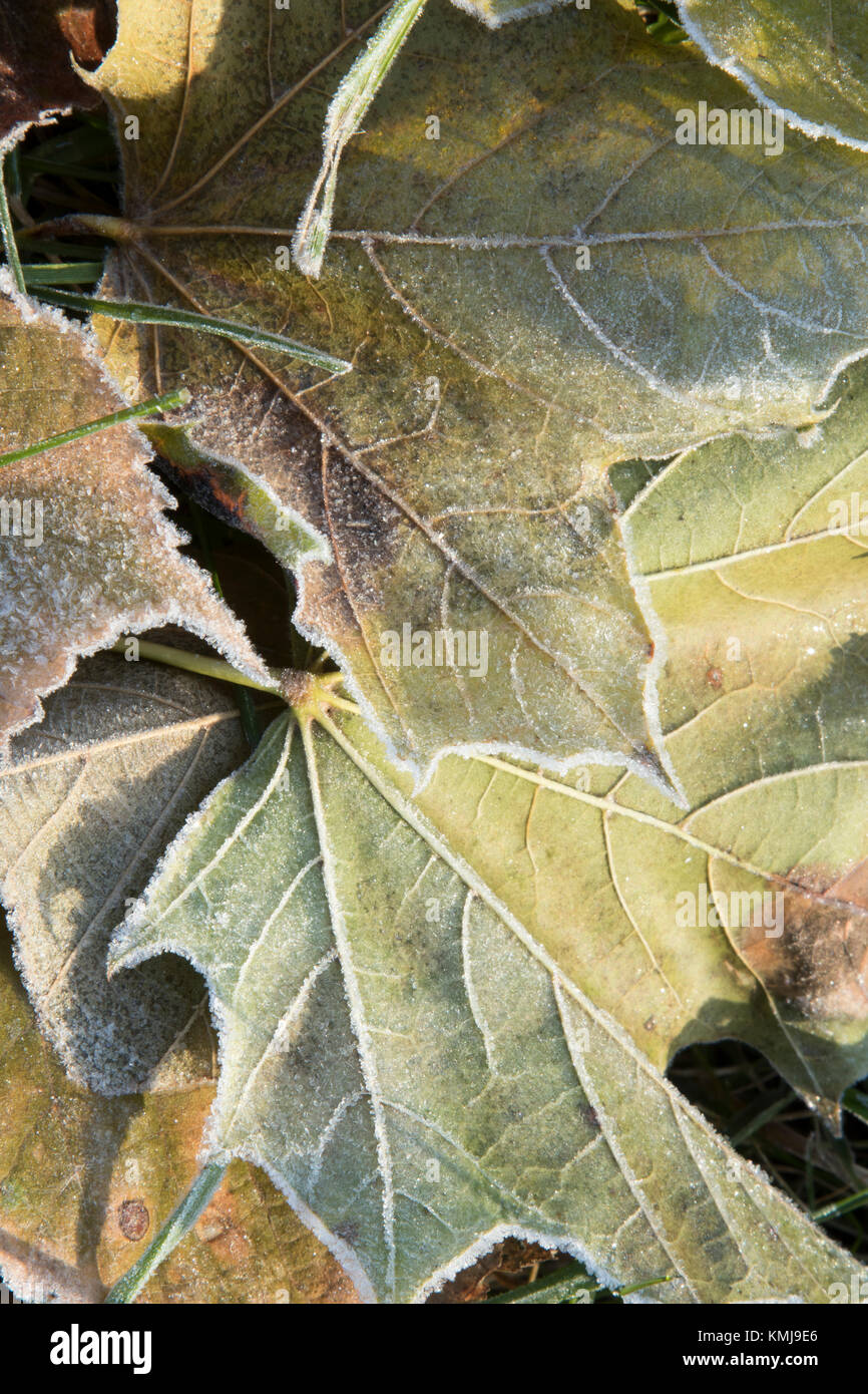 Frost on Leaves on the Grass - Stock Image
