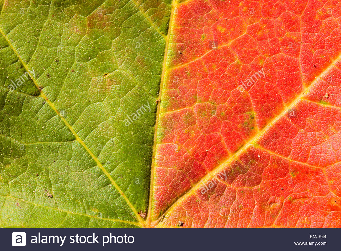 Close-up of maple leaf changing colors in early fall, within the ...