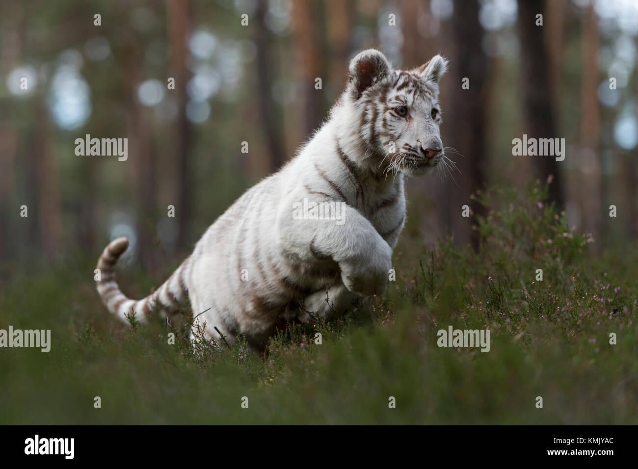 Royal Bengal Tiger / Koenigstiger ( Panthera tigris ), white morph, running fast, jumping through the undergrowth - Stock Image