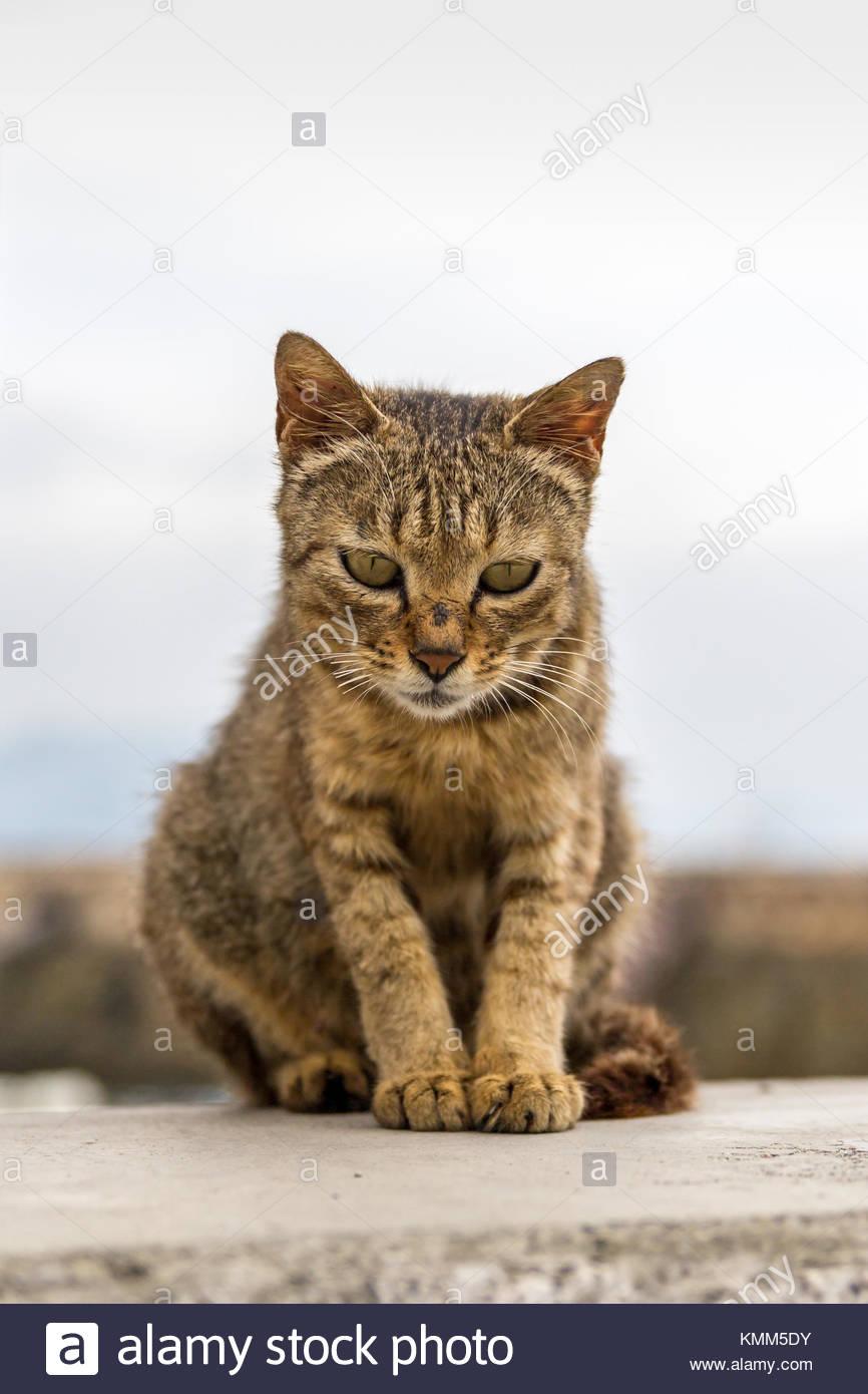 Wild cat, Manabeshima Island, Seto Inland Sea, Japan - Stock Image