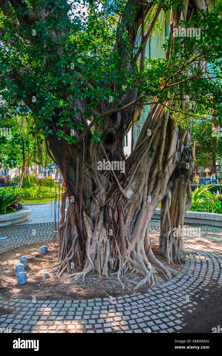 Ancient Banyan Tree, under land lease preservation, Pacific Place, Hong Kong - Stock Image