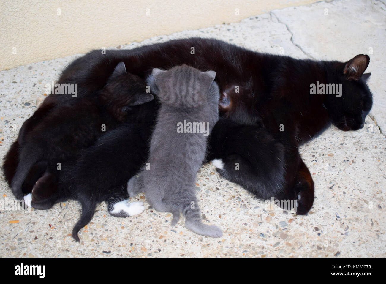 Black mama cat nursing her 4 kittens in the outdoors - Stock Image