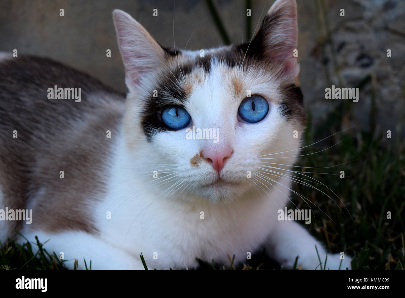 Blue Eyes Calico Adult Cat Laying On Green Grass And Warming Up In Stock Photo Alamy