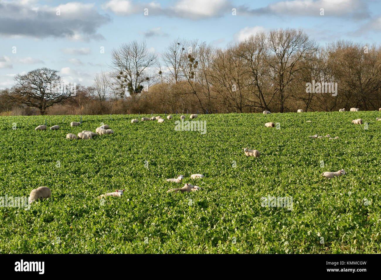Herefordshire, UK. A field of sheep in winter grazing on sugar beet or fodder beet tops - Stock Image