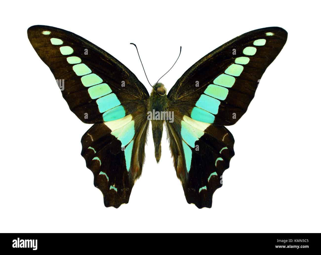 Beautiful exotic colorful Graphium Sarpedon butterfly isolated on white background - Stock Image