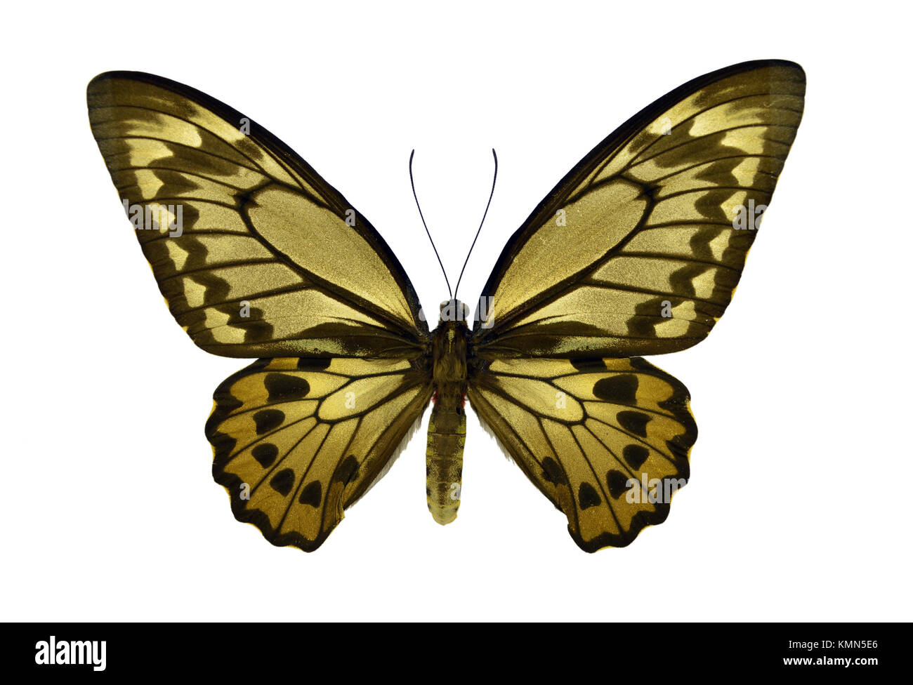 Beautiful exotic colorful Ornithoptera Croesus (female) butterfly isolated on white background - Stock Image
