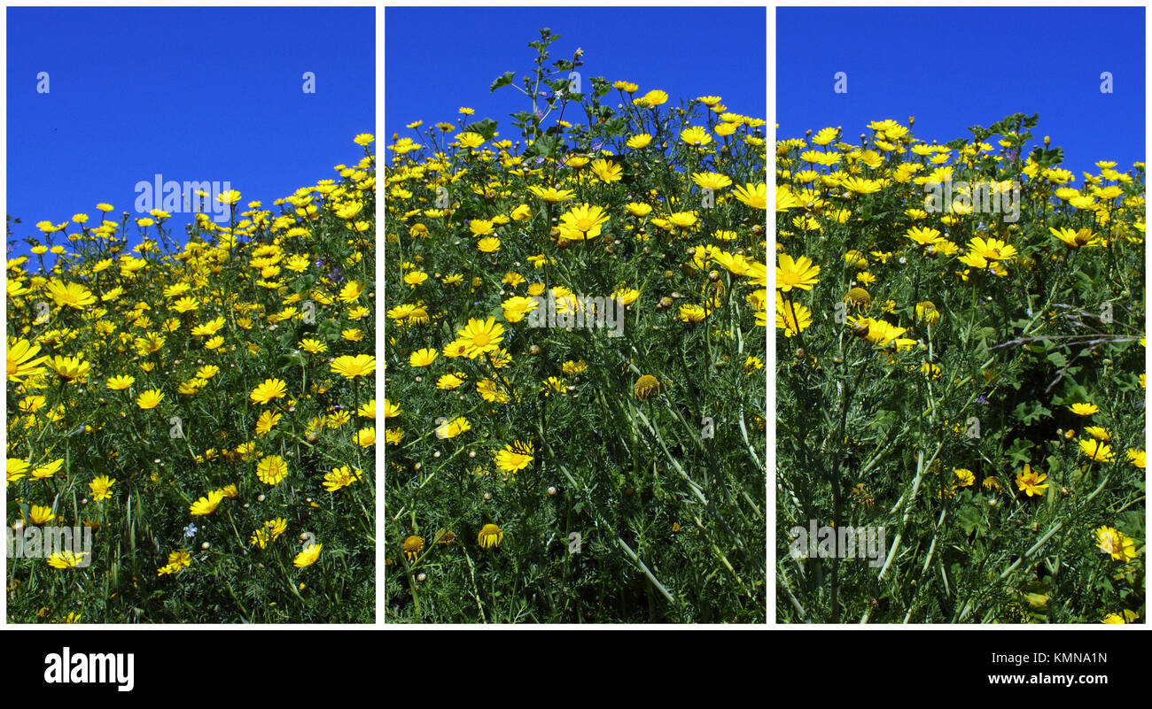 Wild yellow  daisy flourishing  (Triptych: picture molded into 3 fields for printing decorative panels) - Stock Image