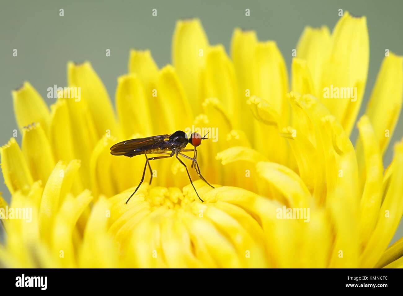 Dance fly, Rhamphomyia nigripennis - Stock Image
