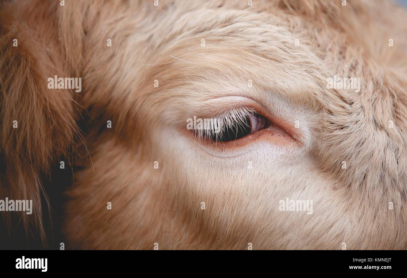 Swedish cow, close up - Stock Image