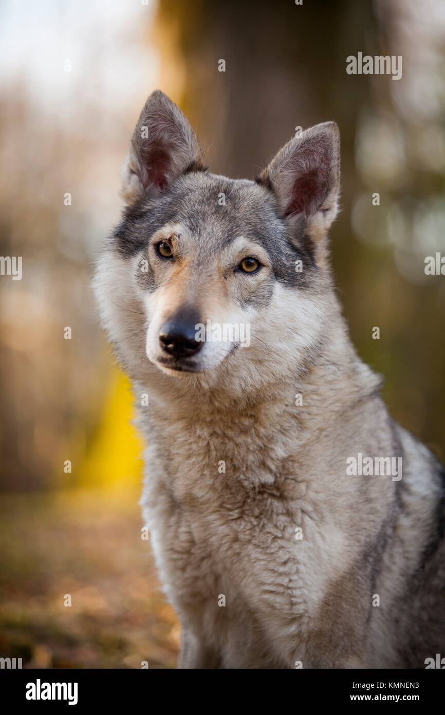 Wolf dog in the park. - Stock Image