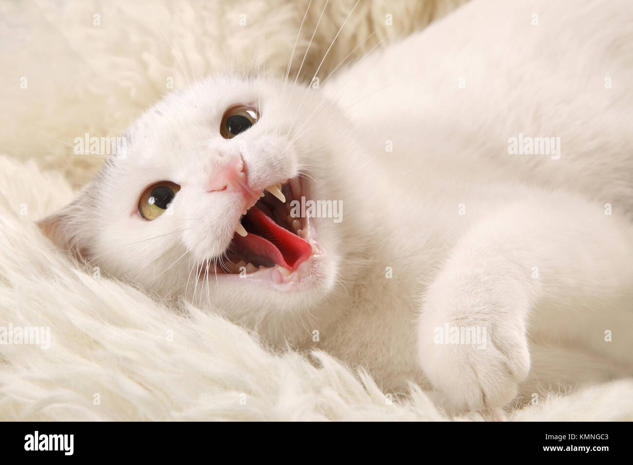 Aggressive white cat with an open mouth on a white sheepskin - Stock Image