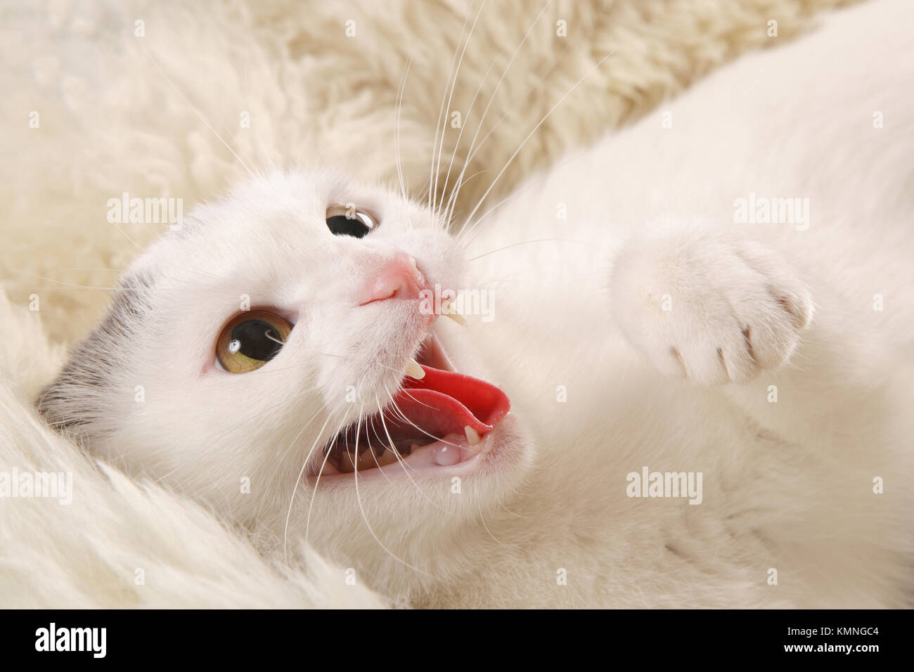 angry white cat on a white sheepskin - Stock Image
