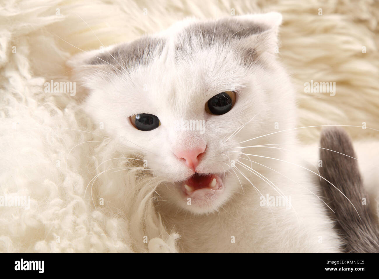 very much not a happy white cat with yellow eyes 2 - Stock Image