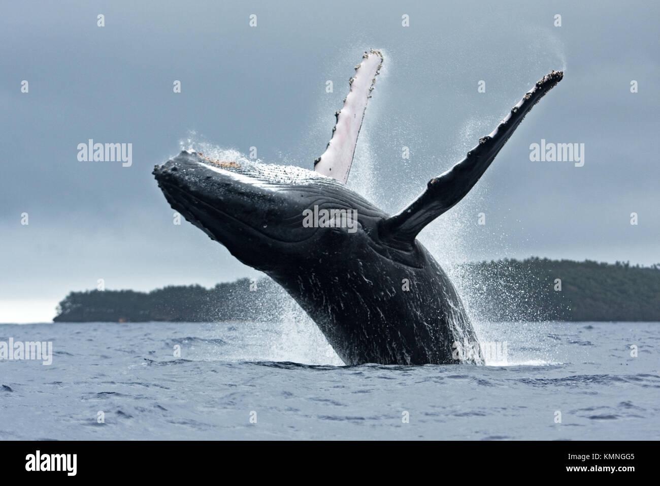 humpback whale, megaptera novaeangliae, Tonga, Vava'u island. jumping whale. Breaching whale. - Stock Image