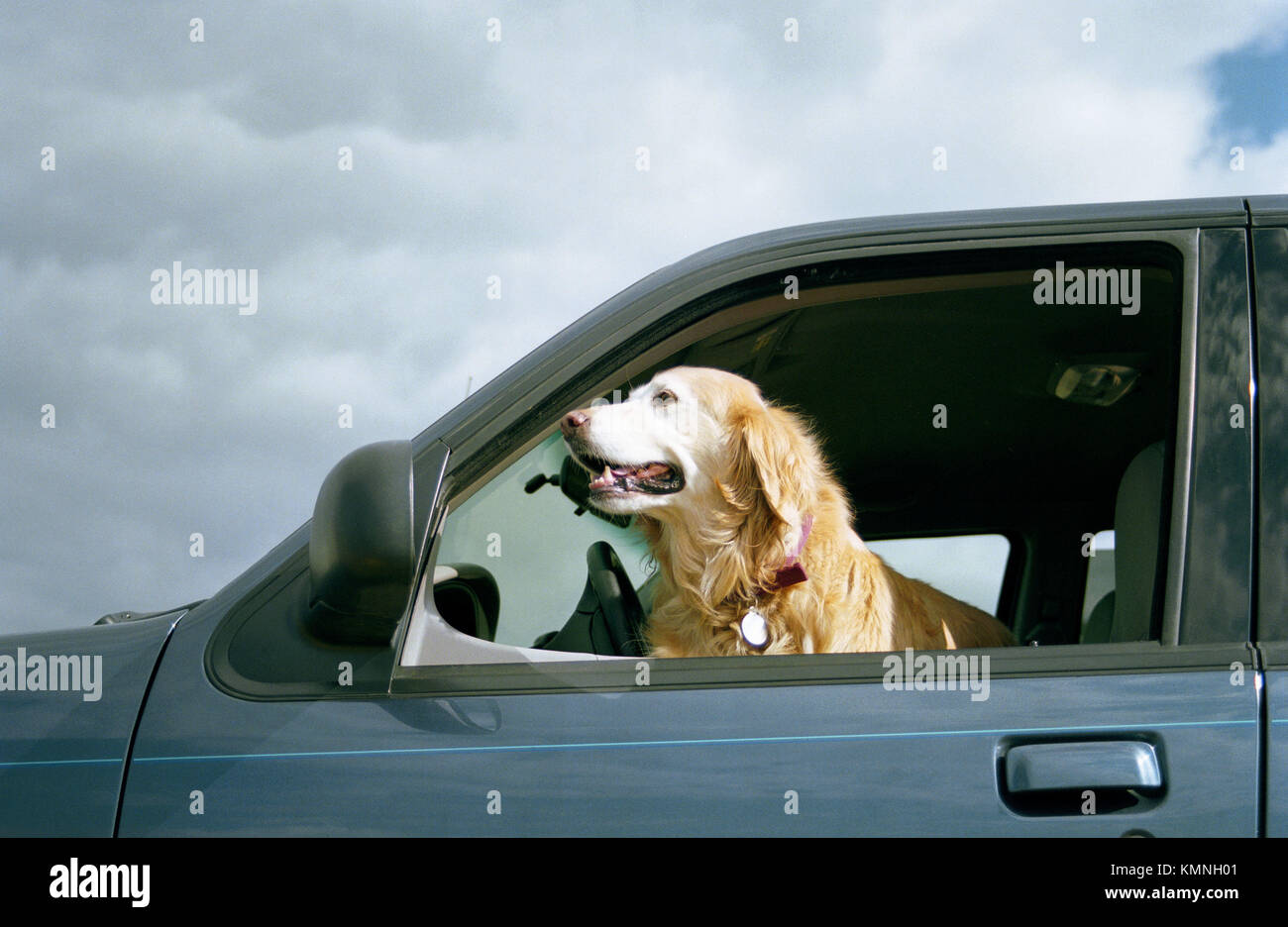 Golden Retriever with head out of car window - Stock Image