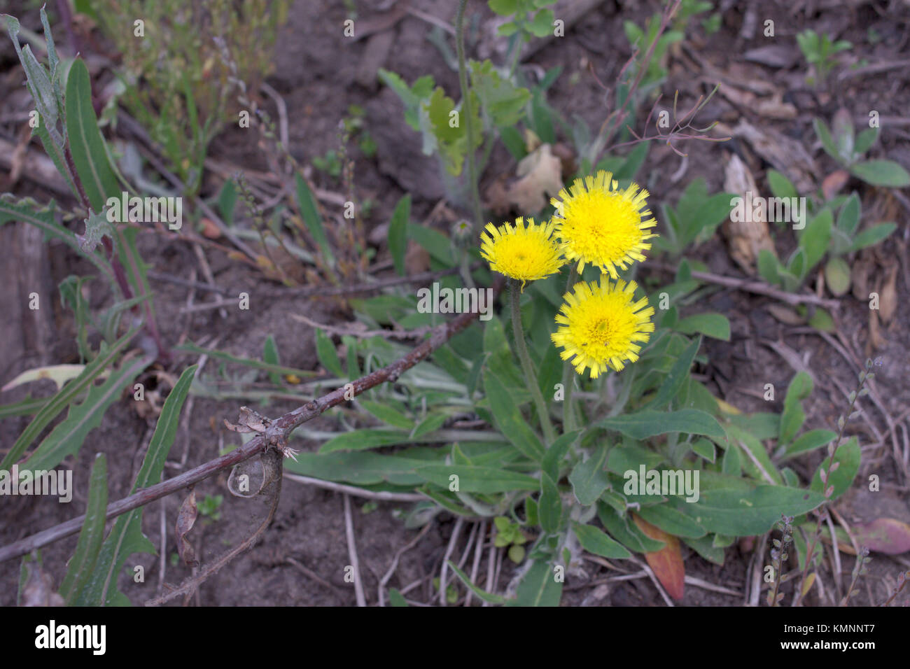 Hieracium pilosella, or mouse-ear hawkweed. Yellow forest flower with long stem and hairy leaves, grows  at the - Stock Image