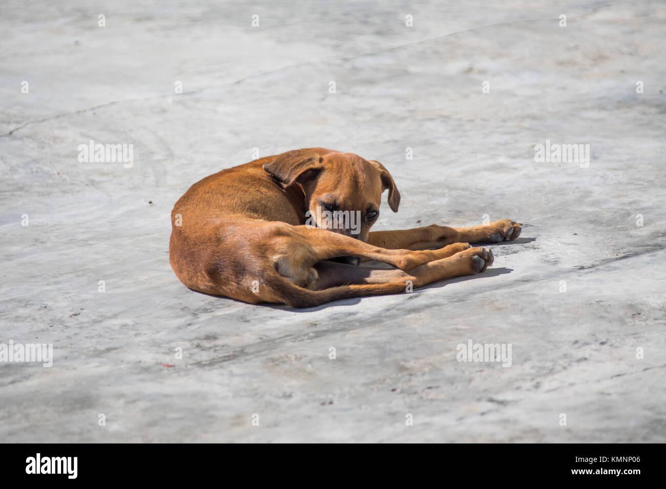 Sick stray dog in Cienfuegos, Cuba - Stock Image