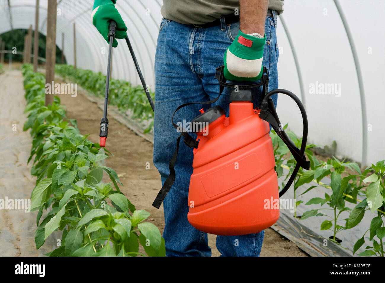 green pepper plant treatment with sprayer (insecticides, pesticides). Greenhouse. Agricultural production. Stock Photo