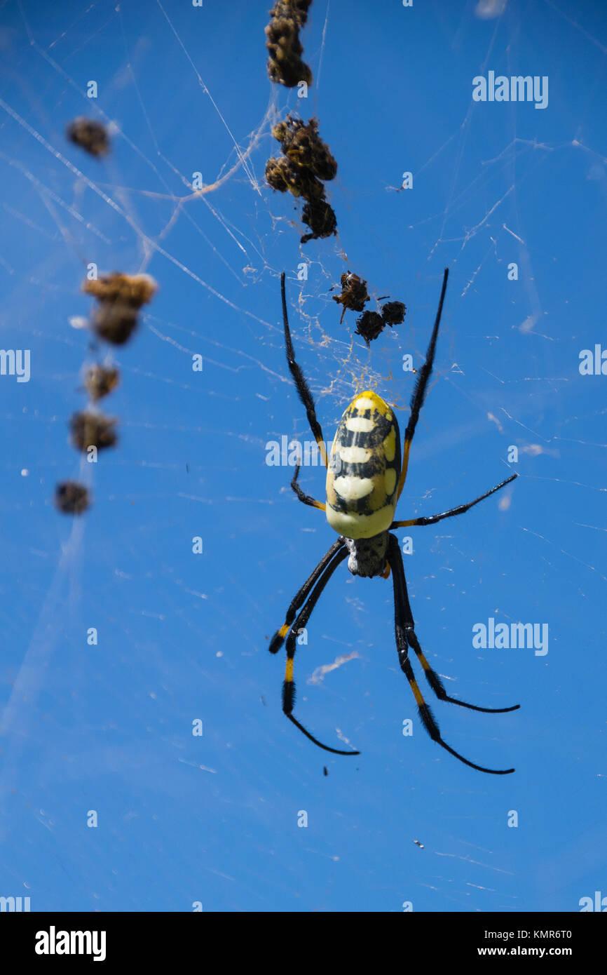 Golden Orb silk weaver spider in web, Boa Vista, Cape Verde - Stock Image