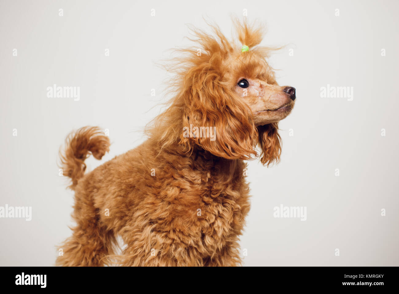 Simple Fur Brown Adorable Dog - adorable-mini-toy-poodle-with-golden-brown-fur-on-a-white-background-KMRGKY  Perfect Image Reference_914076  .jpg