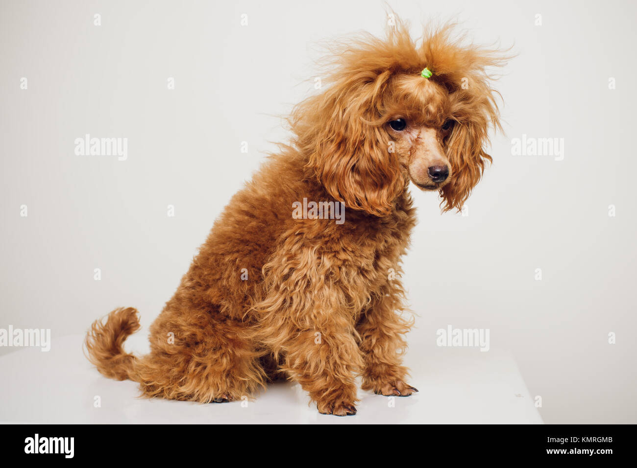 Beautiful Fur Brown Adorable Dog - adorable-mini-toy-poodle-with-golden-brown-fur-on-a-white-background-KMRGMB  Image_311310  .jpg