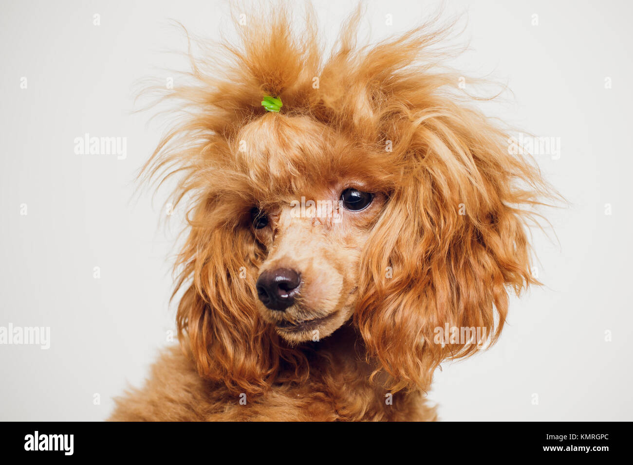 Simple Fur Brown Adorable Dog - adorable-mini-toy-poodle-with-golden-brown-fur-on-a-white-background-KMRGPC  Perfect Image Reference_914076  .jpg