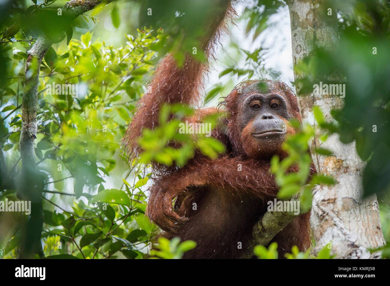 Bornean orangutan (Pongo pygmaeus) under rain on the tree in the wild nature. Central Bornean orangutan ( Pongo Stock Photo
