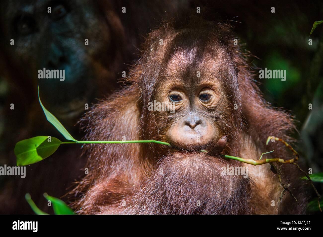 Baby orangutan (Pongo pygmaeus). The close up portrait of cub f of the orangutanon with green leaf on the dark background. - Stock Image