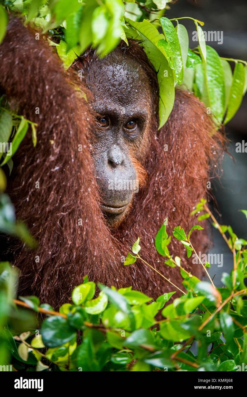 Bornean orangutan (Pongo pygmaeus) under rain in the wild nature. Central Bornean orangutan ( Pongo pygmaeus wurmbii - Stock Image