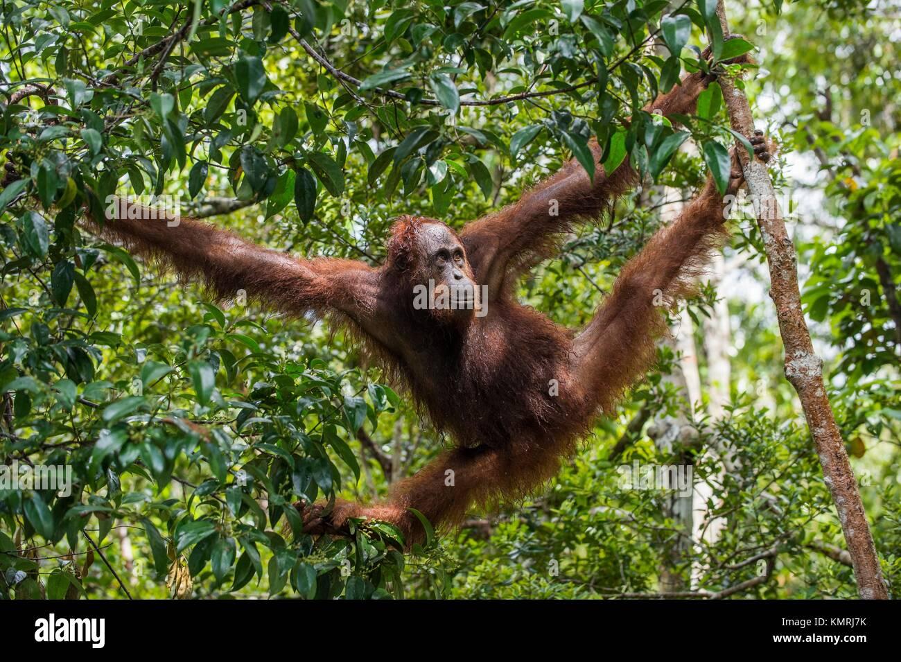 Bornean orangutan (Pongo pygmaeus) under rain on the tree in the wild nature. Central Bornean orangutan ( Pongo - Stock Image