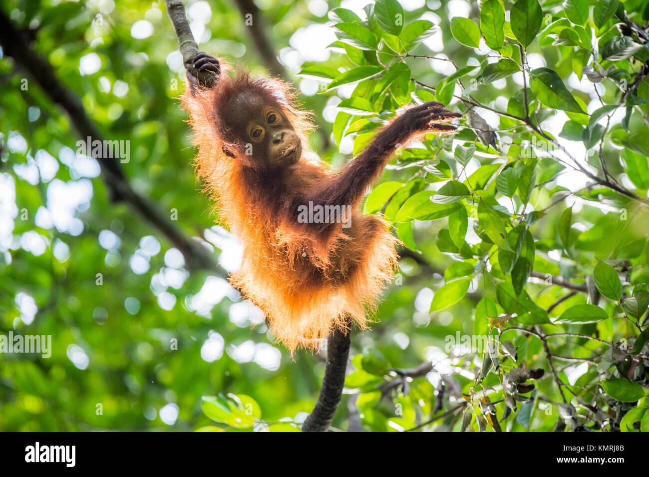 Baby orangutan (Pongo pygmaeus) on the tree. Natural green background. Borneo rainforest jungle, Indonesia. Stock Photo