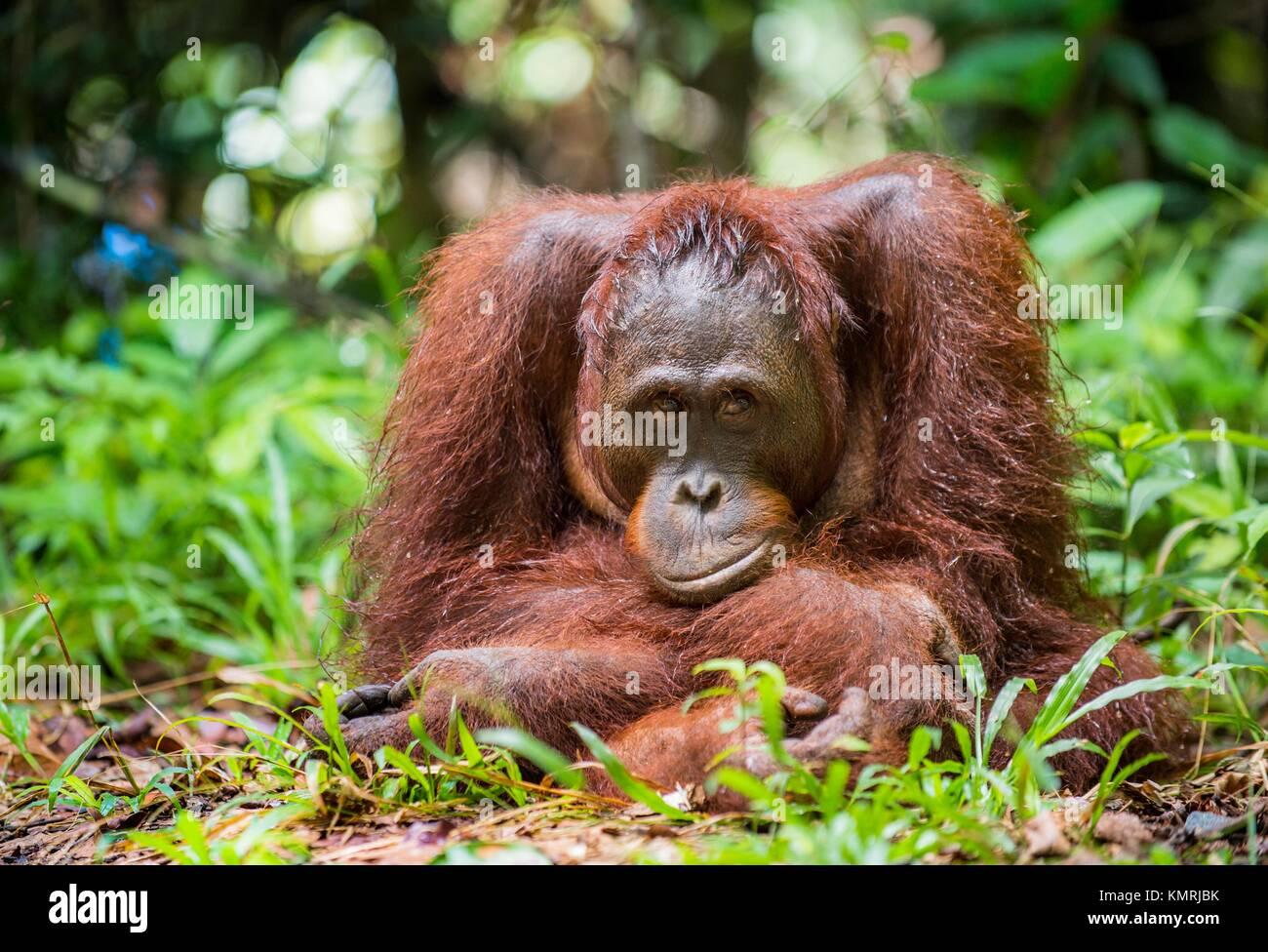 Bornean orangutan (Pongo pygmaeus) in the wild nature. Central Bornean orangutan ( Pongo pygmaeus wurmbii ) in natural - Stock Image